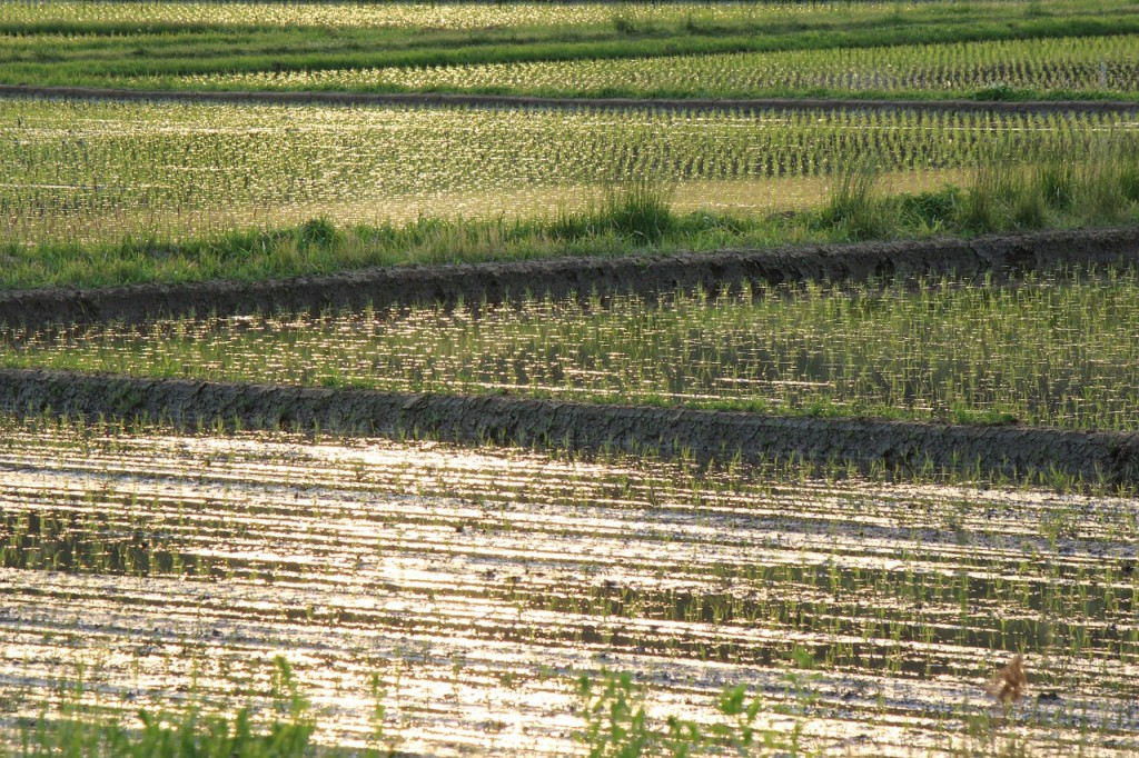 Rice fields, researchers analyze the sensitivity of rice yield to climate warming. Photo by Pixabay