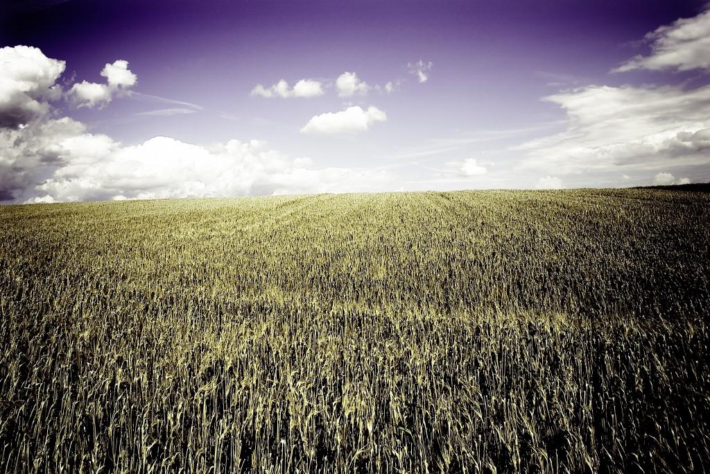 kornfeld / cornfield